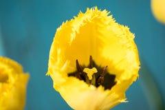 Raue gelbe Tulpe, Fr?hling 2019 lizenzfreies stockbild