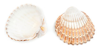 Raue Herzmuschel Shell (Acanthocardia Tuberculata) Stockbilder
