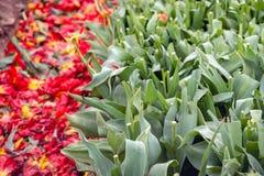 Raue mechanisch enthauptete Tulpen vom Abschluss lizenzfreies stockbild
