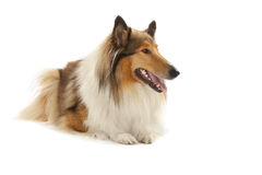 Rauer Collie Stockbild