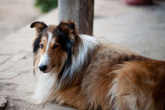 Rauer Collie Stockbilder
