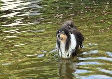 Rauer Collie, der im Wasser bellt Stockfotografie