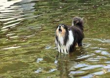 Rauer Collie, der im Wasser bellt Stockbild