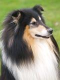 Rauer Collie-Hund Stockfotografie