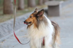 Rauer Collie-Hund Stockbild