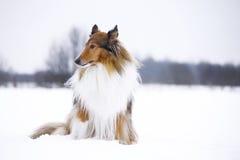 Rauer Collie im Winterwald stockfotos