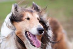 Rauer Colliehund im Wind Lizenzfreies Stockbild