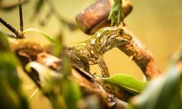 Rauer Gecko stockbild