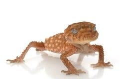 Rauer Knopf-angebundener Gecko stockfoto