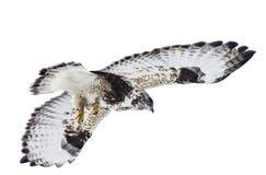Rauer mit Beinen versehener Falke im Flug Lizenzfreies Stockbild