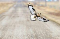 Rauer mit Beinen versehener Falke im Flug mit Maus Stockfoto