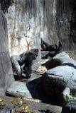 Rauer Tag für diesen Gorilla lizenzfreies stockfoto