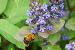 Rauhaarige Biene auf einer rauhaarigen blauen Gartenblume stockfotografie