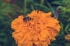 Rauhaarige Biene sammelt einen Nektar Lizenzfreie Stockfotos