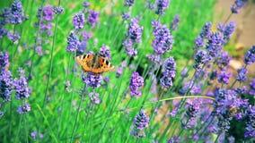 Rauhaarige Hummel und Schmetterling sammeln Blütenstaub von den Blumen stock video