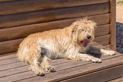 Rauhaariger Hund im Ruhezustand, Fuseta, Portugal Lizenzfreies Stockfoto
