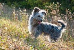 Rauhaariger Hund steht auf dem Gebiet stockbild