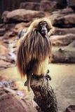 Rauhaariger Pavian, der auf einem Stamm sitzt stockfotos