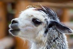 Rauhaariges Alpaka im Zoo Stockfotografie