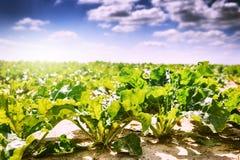 RAUM FÜR BEDECKUNGSschlagzeile UND TEXT Landwirtschaftliches Feld mit Zuckerrübe Lizenzfreies Stockbild