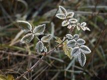 Raureif bedeckte Blätter Stockfotografie
