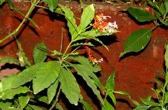 Rauvolfiaserpentina, Indische snakeroot, Duivelspeper stock fotografie