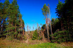 Ravage of the squall. Debris of trees in the forest after the squall on August 8, 2010, Alytus county, Lithuania Royalty Free Stock Photography