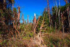 Ravage of the squall. Debris of trees in the forest after the squall on August 8, 2010, Alytus county, Lithuania Stock Photography