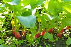 Ravanelli che crescono nel terreno Fotografia Stock Libera da Diritti