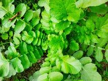 Ravanelli, foglia verde fotografia stock