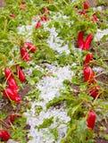Ravanelli nocivi dopo il hailstorm immagine stock libera da diritti