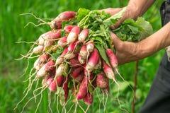 Ravanello a disposizione Passa il giardiniere mani Lavoro-consumate Fotografia Stock Libera da Diritti