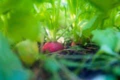 Ravanello nazionale organico nel suolo circondato dai verdi sviluppisi fotografia stock