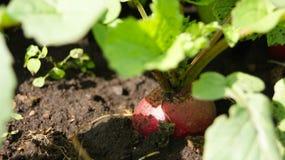 Ravanello nel giardino Fotografia Stock
