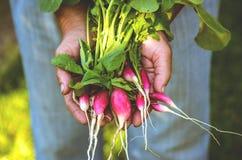 Ravanello nelle mani di un agricoltore Fotografie Stock