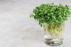 Ravanello o daikon organico verde crudo Microgreens fotografia stock