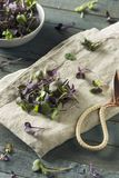 Ravanello organico porpora crudo Microgreens Fotografia Stock Libera da Diritti