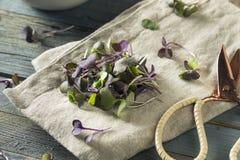 Ravanello organico porpora crudo Microgreens Immagine Stock Libera da Diritti