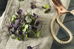 Ravanello organico porpora crudo Microgreens Fotografia Stock