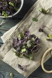Ravanello organico porpora crudo Microgreens Immagine Stock