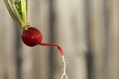 Ravanello rosso Fotografia Stock Libera da Diritti