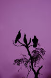 Raven. Three spooky ravens in a tree in the dark night Stock Photography
