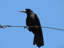 Raven. Black raven on a wire over blue sky Stock Image
