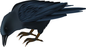 Raven. Beak bird black blackbird cartoon Royalty Free Stock Photography