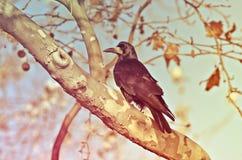 Raven Stock Image