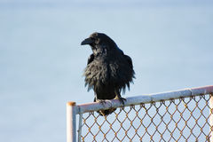 Raven. Sitting on a fence in front of the Golden Gate Bridge Royalty Free Stock Images