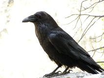 Raven Images stock