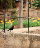 Raven. Black raven sitting on a fence Royalty Free Stock Photos