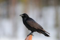 Raven Royalty Free Stock Photos