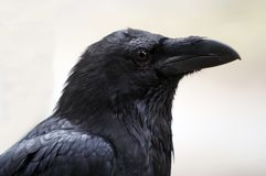 Raven. Shot of a head of raven stock images